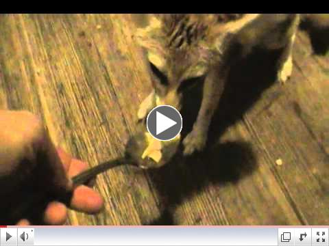 Quiggly the fennec fox eating noodles from a spoon