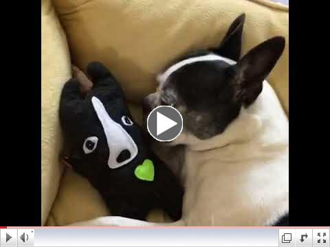 Lucy loves her Boston Terrier Bummlie ~ Poppa Archie