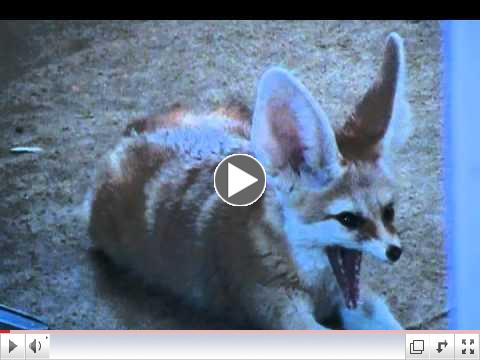 Quiggly the fennec fox waits in front of the frig