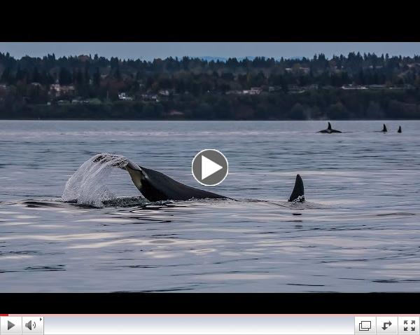 Southern Resident Killer Whales: J and K Pods in Colvos Passage