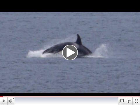 Killer whales off Victoria BC