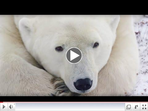 Natural Habitat - Canadian Polar Bear Experience