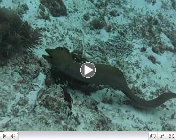 Moray Eel Swimming With Us In Cozumel