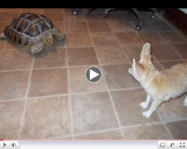 Wiley the Fennec fox & Rambo the Sulcata Tortoise at Critter Camp
