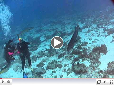 Barracuda Feeding Frenzy