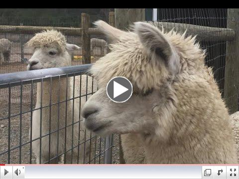 Learn More About Our Alpaca and Goat Shelter! Watch Our Video: