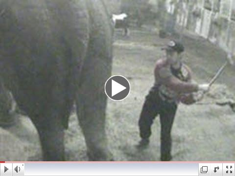 Shocking new ADI cruelty exposé shames UK circus industry