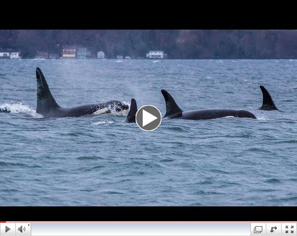 Southern Resident Killer Whales: The Edge of Forever (HD)