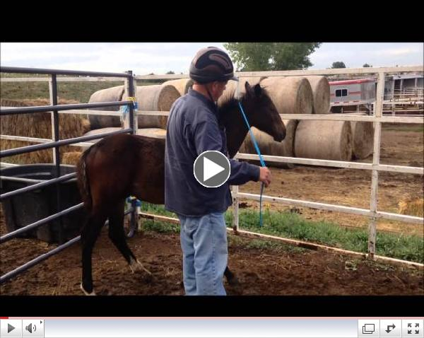 Major is introduced to the Horsemans' Rope: ROTH Foal Gentling, September 2014