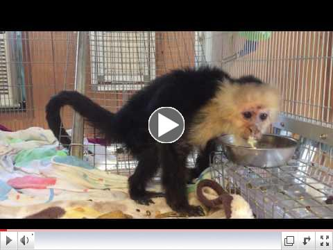 In this video, Bonnie, one of our geriatric monkeys laps up her CBD Oil.