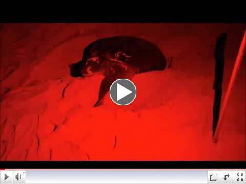 Green Sea turtle Nesting in Cozumel