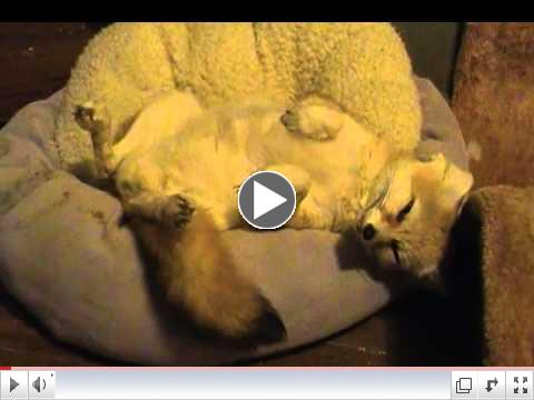MORE CUTE Quiggly the fennec fox going to sleep