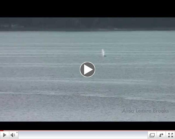 Gray Whales Possession Sound-March 12, 2015