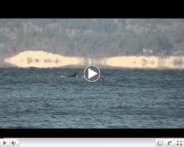 Southern Resident killer whales Puget Sound: Dec 7, 2013