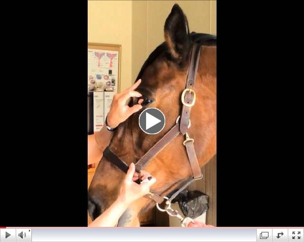 Genesee Valley Equine Clinic's How To: Medicate A Horses Eye