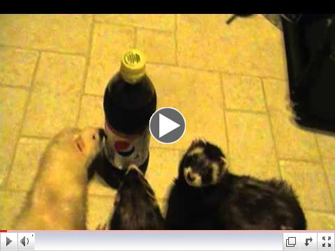 Rescued Ferrets at Critter Camp Want Pepsi Power Vote Codes NOW!!!
