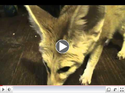 Zoey the CUTE fennec fox eating her superworms