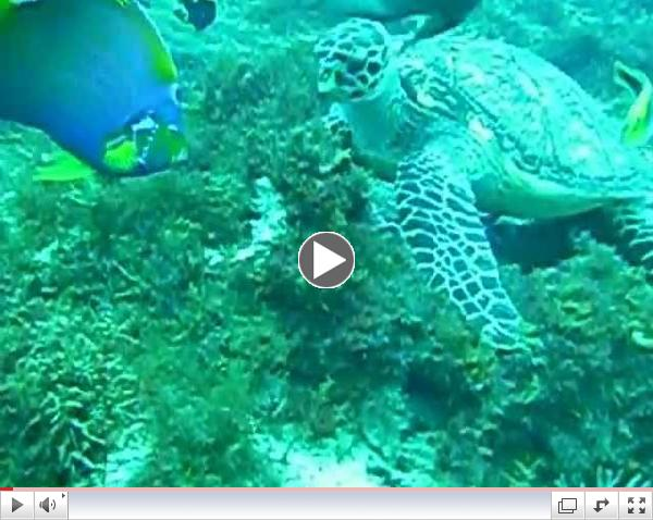 Hawksbill turtle & angel fish foraging 1