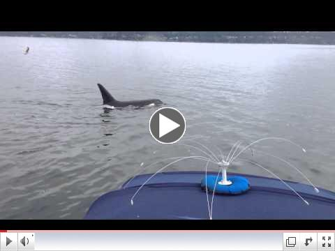 Orca encounter in Carr Inlet