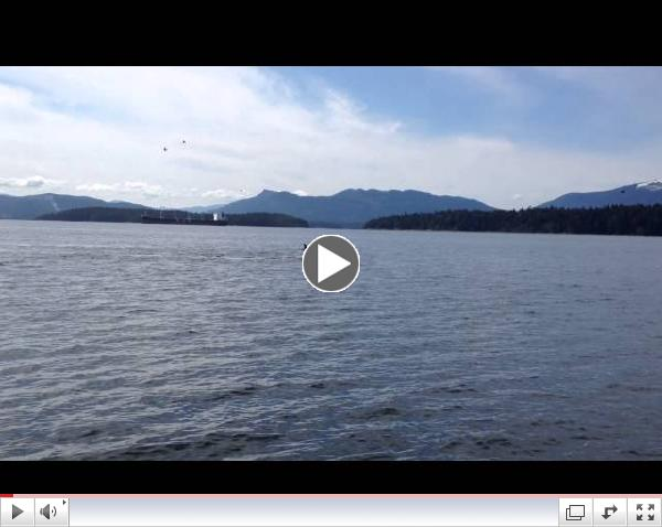 15 Bigg's Killer Whales, Vancouver Island Whale Watching