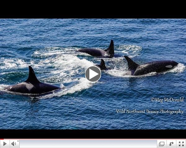 Southern Resident Killer Whales: Loving Family Reunion (HD)
