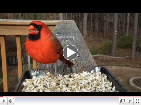 Cardinal eating safflower