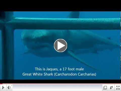 Isla Guadalupe Great White Cage Dive