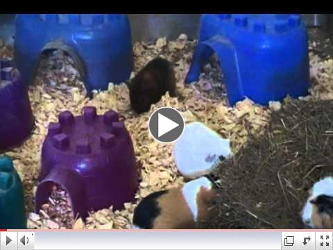Hawkgirl Rescued Guinea Pig in Piggy Haven at Critter Camp