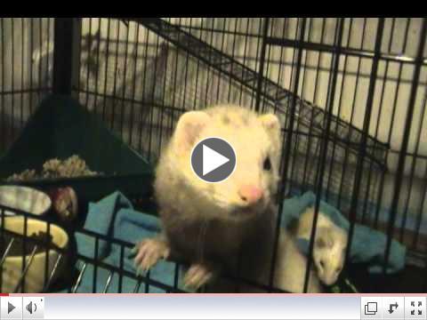 Sammy, Critter Camp's newest ferret meets her new buddies