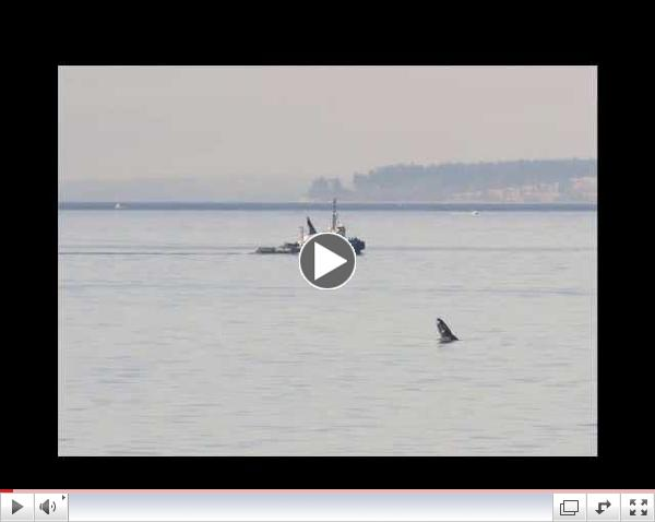 Humpback Whale   March 8th, 2015