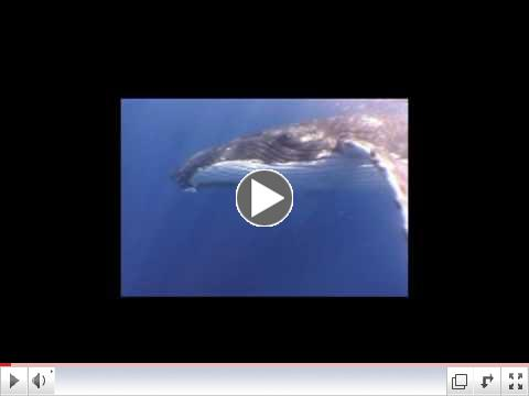 Humpback Whales Play With Divers in Tonga; Attempt Contact