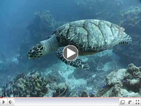 Hawksbill turtle cruises along with divers in Cozumel Mexico
