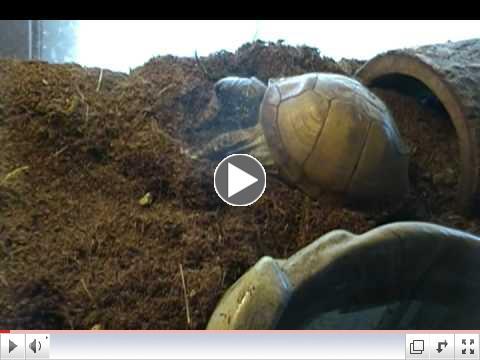 Box Turtles Nomming on Juicy hornworms