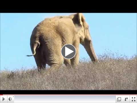 AFRICAN ELEPHANTS: Maggie, Lulu and Mara