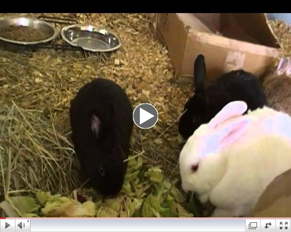 Rescued Bunnies Nomming their Greens at Critter Camp