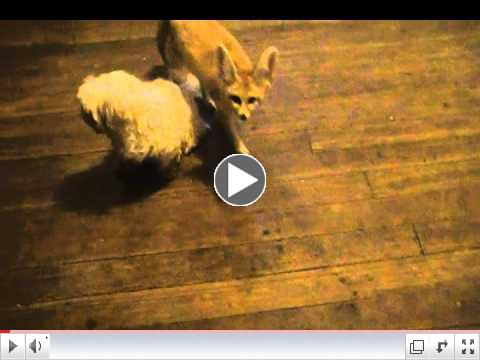 Fennec Foxes & dogs at Critter Camp