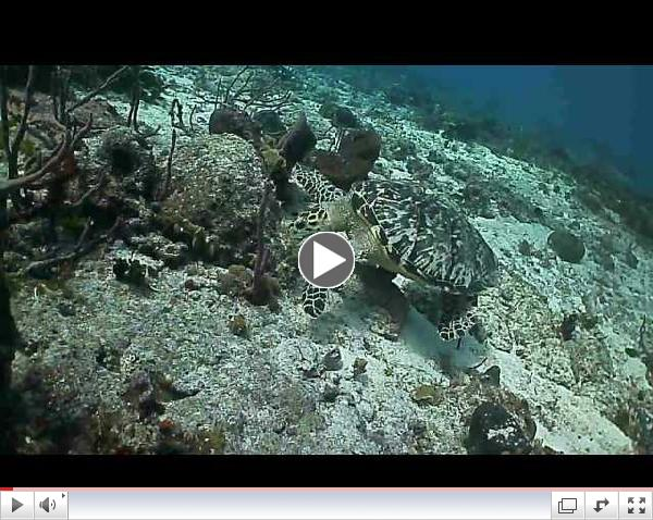 Hawksbill Turtle Snacking on a Sponge, Cozumel Mexico