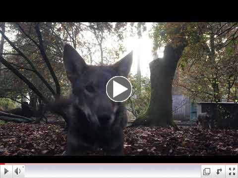 it's playtime for red wolf parents, yearlings and pups