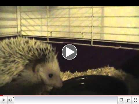Cute Hedgehog Drinking water