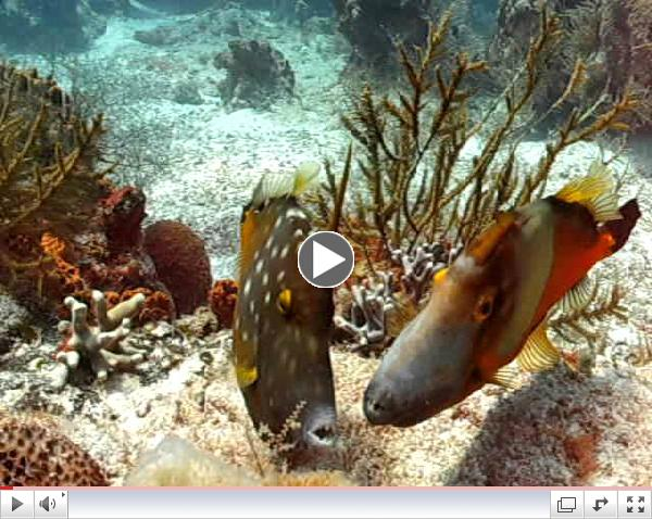 Spotted Filefish in Cozumel
