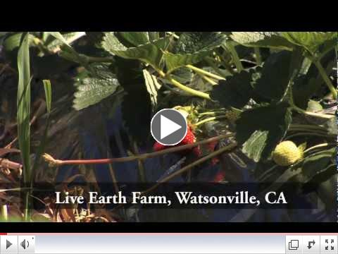 How to Grow Organic Strawberries with Live Earth Farm and Veggie Box