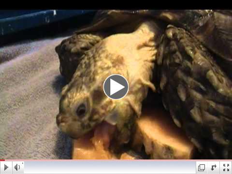 Rambo tortoise Nomming melon! Yum!!