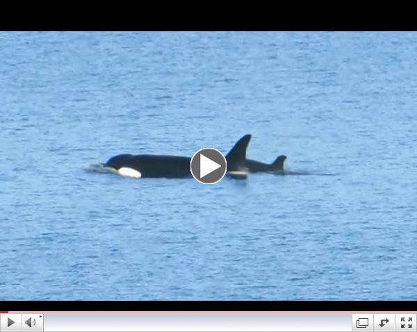 Orcas in Baynes Sound, Sept 15th 2014