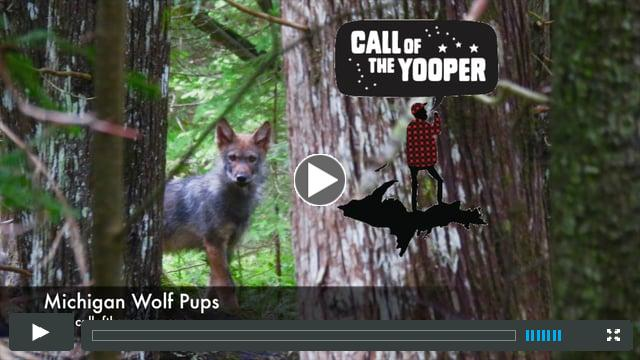Michigan Wolf Pups!!!