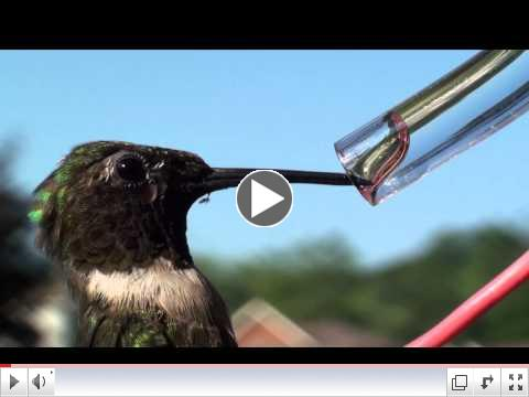 Hummingbird's Forked Tongue