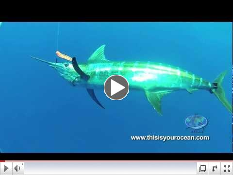 Massive Mako Shark Meets Diver
