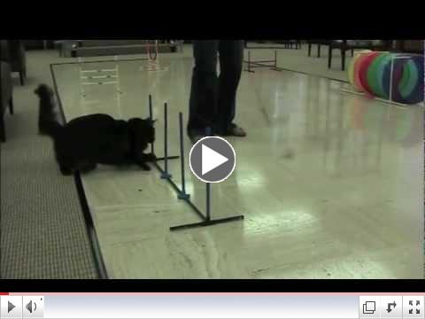 Feline agility demonstration